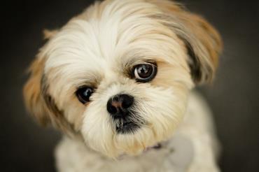 سگ شیتزو تریر