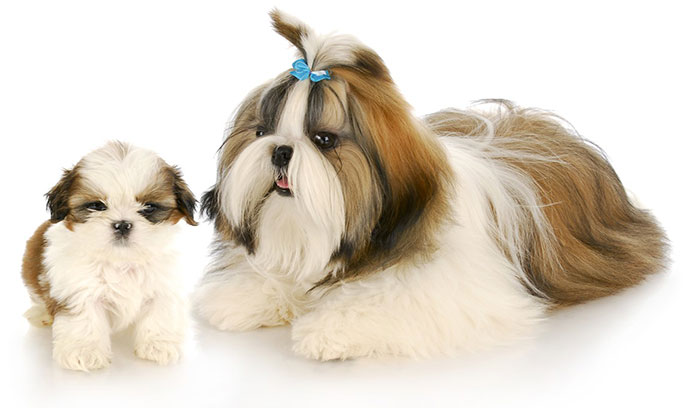 نژاد سگ شیتزو