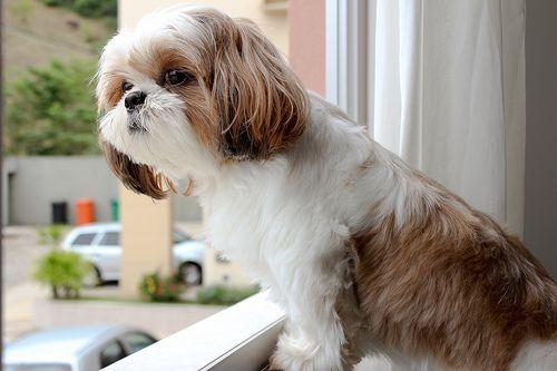تغذیه سگ شیتزو