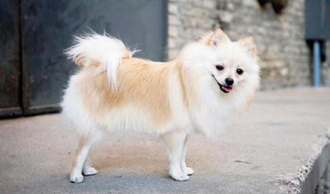 تصاویر سگ پامرانیان