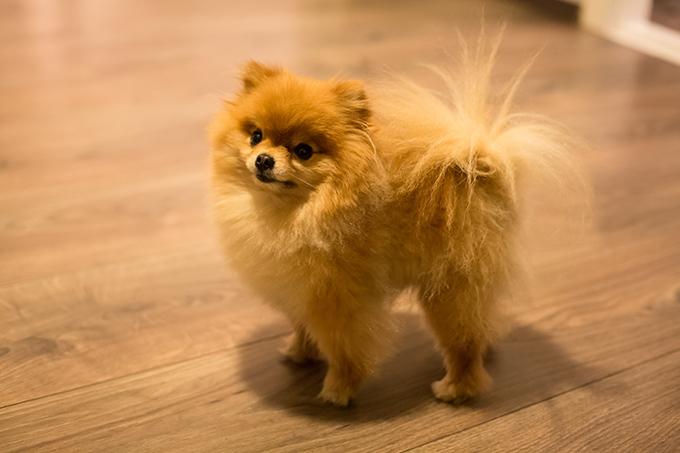 نژاد سگ پامرانیان